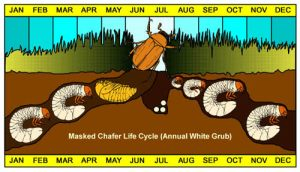 grub-life-cycle